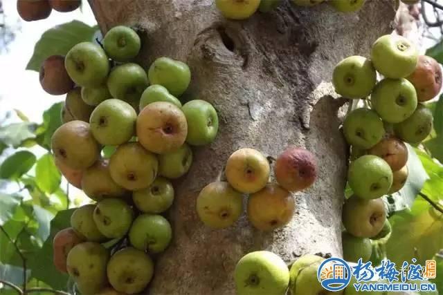 赣南农村才有的18种奇葩美味野果, 吃过3种以上算你牛